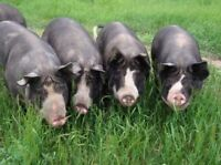 Berkshier and Tamworth pigs for sale
