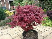 Acer / Japanese Maple trees or shrubs wanted