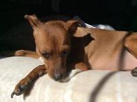 Maddie - warm, loyal and pretty girl! * Min Pin Rescue Group*