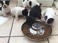 fantastic litter of french bulldogs with both parents