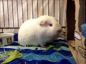 """Adult Male Small & Furry - Guinea Pig: """"Goofie"""""""
