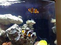 Couple de poisson clown a vendre