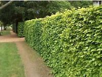 Green beech hedging plants
