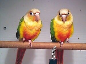 Pineapple Conure Pair Tame Female Jealous Male Sat 27th Only