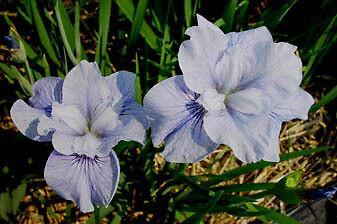 Iris sibirica 'BLAUES SCHWEBEN' (Tamberg 2005)