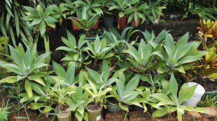 Agave plants various sizes Great Landscape plant or in Pots