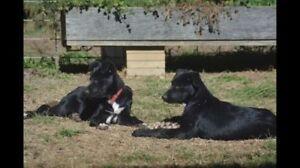 Border Collie x Kelpie Working Pups Uralla Uralla Area Preview