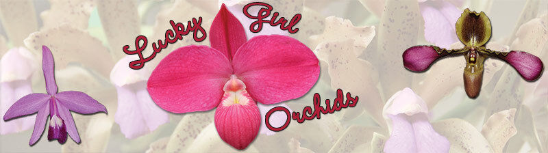 Lucky Girl Orchids