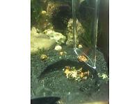 Assassin snails clea helena pest snail eater
