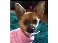 Chihuahua x jack girl