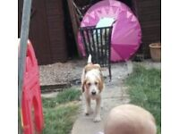 welsh fox hound for sale