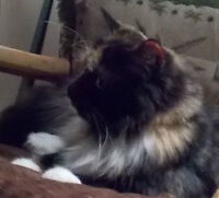 Re-Homing Pending.  Affectionate Playful spayed Torti