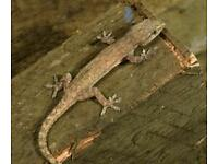 4 house geckos
