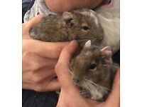 2 female Degus with cage and burrowing tank