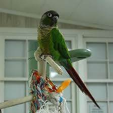 11 month old male green cheek conure Strathfield Strathfield Area Preview