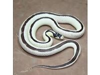 FS: Adult Reverse Striped Californian King Snake and Vivarium