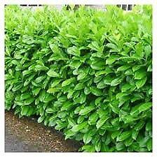 Laurel hedging plants 2ft