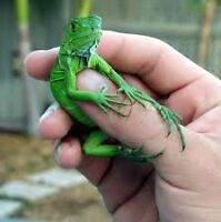 Looking for baby iguana