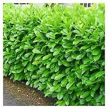 Laurel hedging plants last ones this season