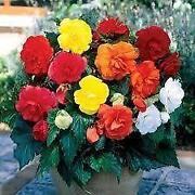 Begonia Bulbs