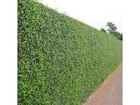 green privet 3/4ft 90/120cm tall