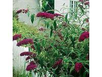 Royal Red buddliea Buddleja flowering Shrub cottage garden favourite
