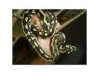 Jungle carpet python and full setup