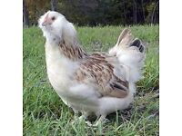 Salmon Faverolle Bantam hens for sale (chickens,hens,bantams)