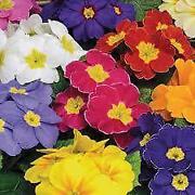 Primrose Plug Plants