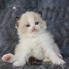 Wanted: WANTED: Rag-doll, British Shorthair or Russian Blue Kitten