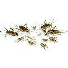 FEEDER INSECTS @ TRENT PET Kawartha Lakes Peterborough Area image 2