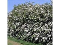Hawthorn Hedging whips