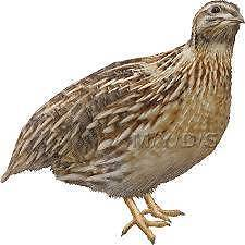 Young Japanese Quails $5 each Charmhaven Wyong Area Preview