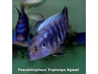 Malawi Mbuna cichlids for sale