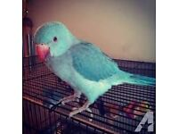 baby blue ringneck parrots 12 weeks old males and females easy to train with papers