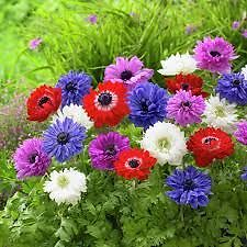 St Brigid Anemones: Freshly sprouted in pots and IN FLOWER NOW! Eastwood Ryde Area Preview