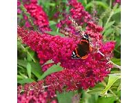 Buddleia Red buzz and Duskhunter Surprise. two bushes