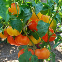 Hot Pepper Seeds and Plants / Bhut Jolokia/ Carolina Reaper