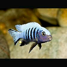 Pulpican Kingsizii cichlids 6 fish colony $80 Willetton Canning Area Preview