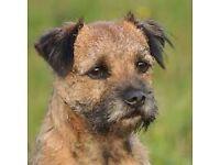 Boarder terrier for sale