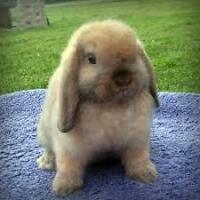 Looking for a young lop bunny