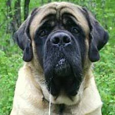 Retired couple looking for a female mastiff type dog