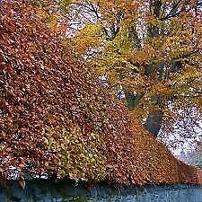 Beech Hedging plants