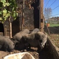 Pot Belly pigs for adoption