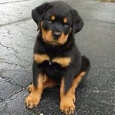 Looking For A Male purebred Rottweiler