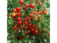 3 TRAILING Cherry Tomato GARDEN PEARL For Baskets Etc.