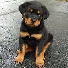 Looking For A Male Purebred Rottweiler!!