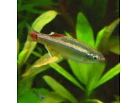 Free White Cloud Mountain Minnow Fish Tank Aquarium