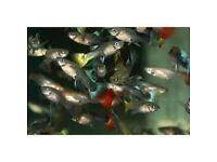ASSORTED FEMALE GUPPYS TROPICAL FISH
