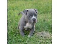 American bully xl blue
